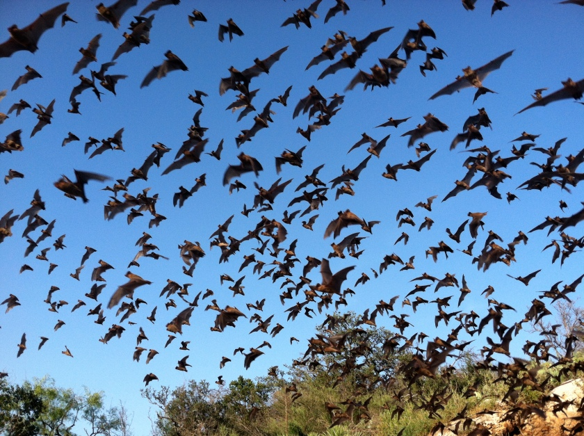 Mexican_free-tailed_bats_(9413220937)